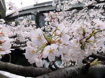 桜-5.jpg