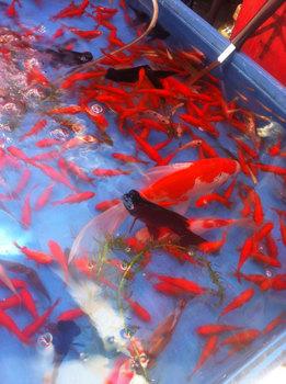 金魚 昼.jpg